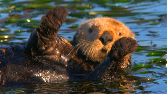Sea Otter Video Stock Footage