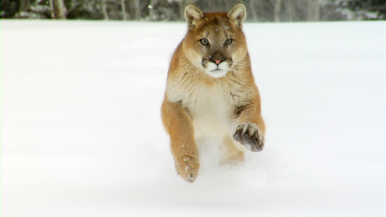 Big Cats Highlights Video Stock Footage