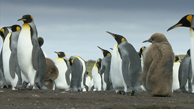 Penguin Video Stock Footage