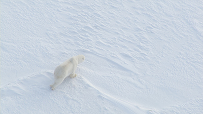 Polar Bear Video Stock Footage