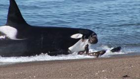 Killer Whale Video