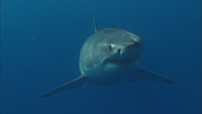 Great White Shark Video