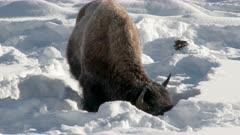 American Bison (Bison bison) pushing snow aside to graze