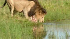 Lion (panthera leo) walking to carcass in pond, starts drinking, Hyena's in background