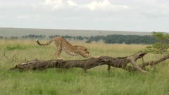 Cheetah (Acinonyx jubatus) passing by a spotted Hyena, and walking up a dead fallen tree