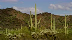 Saguaro Cactus and other cacti, possibly Jumping Cholla, at the Organ Pipe Cactus National Monument