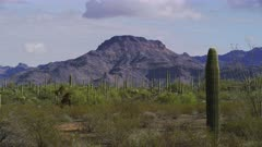 Saguaro and other cacti, possibly Jumping Cholla, in the morning sun at Organ Pipe Cactus National Monument