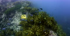 A wide shot of a school of Two spot demoiselles, damsel fish,Chromis dispilus  swim in front of sea weed