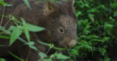 Wombat, common, near burrow, dusk hour