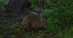 Wombat, common, enters bush, dusk hour