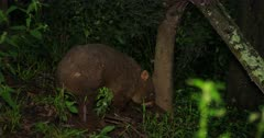 Wombat, common, disappears into the bush, dusk hour