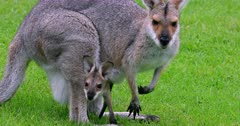 Red-necked Wallaby grazing, joy inside grazes too