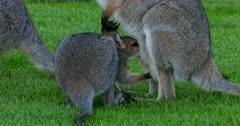 Red-necked Wallaby joy suckling