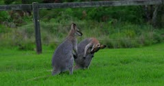Red-necked Wallaby juveniles fighting