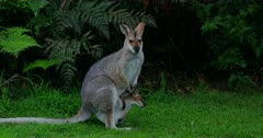 Red-necked Wallaby standing alert, joy head out, gets in