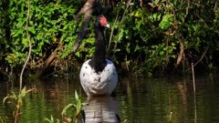 Magpie Goose, gets threatened by Swamphen