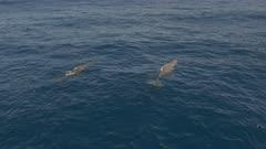 Two sperm whales swim in blue ocean, 4K aerial side follow shot