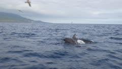 False Orca pod hunting, 4K gimbal side shot