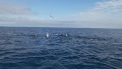 False Orca pod hunting, splashing diving close, HD 96fps gimbal follow shot