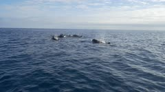 False Orca pod on the move, hunting, HD 96fps gimbal backlit side shot