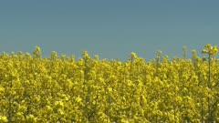 Farmland with blooming Canola, Campestris L during Spring in Sweden