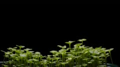 Pak choi sallad growing isolated over a black background, 4K time lapse