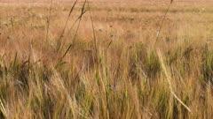 Farmland with ripe Barley, Hordeum vulgar L during summer in Sweden