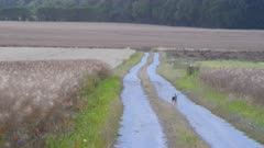 Hare running on a road between two Canola fields