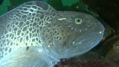 Spotted Wolffish (Anarhichas minor)