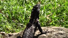 Green Iguanas (Iguana iguana) in the sun