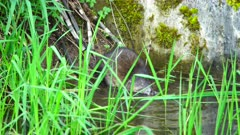 4K Muskrat searching in water for horsetail, finds one and eats it at edge of creek