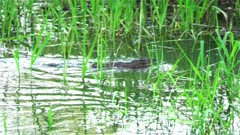 4K Muskrat swims away fast in to brush after sunset