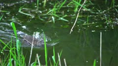 4K Muskrat swims towards camera fast after sunset, rack focus