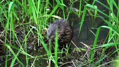 4K Muskrat eating grass in shallow water of river after sunset, swims off