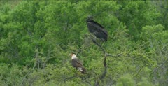 Crested Caracara and Black Vulture