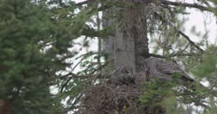 great gray owl female, male with gopher, and chicks in nest