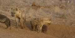 spotted hyenas adults and pups