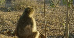 chacma baboon male scratching