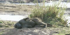 chacma baboon large male collapsing for a rest