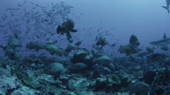 Rare Annual Marbled Grouper Spawning Attracting Grey Reef Sharks to Feed on Eggs