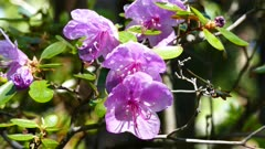 rhododendron flowers close up, 4k