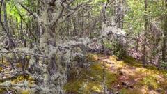 Usnea filamentous (Usnea filipendula) on tree branches in Altai taiga