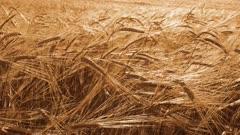 field of ripe wheat, 4k