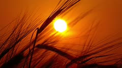 ears of ripe wheat against the backdrop of the setting sun, 4k