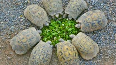 Eight young turtles stand circle and eating salad