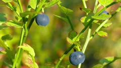 blueberry in forest macro, 4k