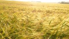 ears of ripe wheat, 4k