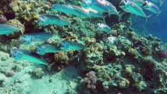 school of Indian mackerel (Rastrelliger kanagurta) feeding in Red Sea, Egypt