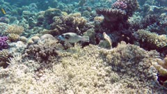 Black Spotted or Dog Faced Puffer fish (Arothron nigropunctatus)  in Red Sea, Egypt.
