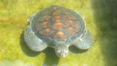 Sea turtle in basin - Sri Lanka